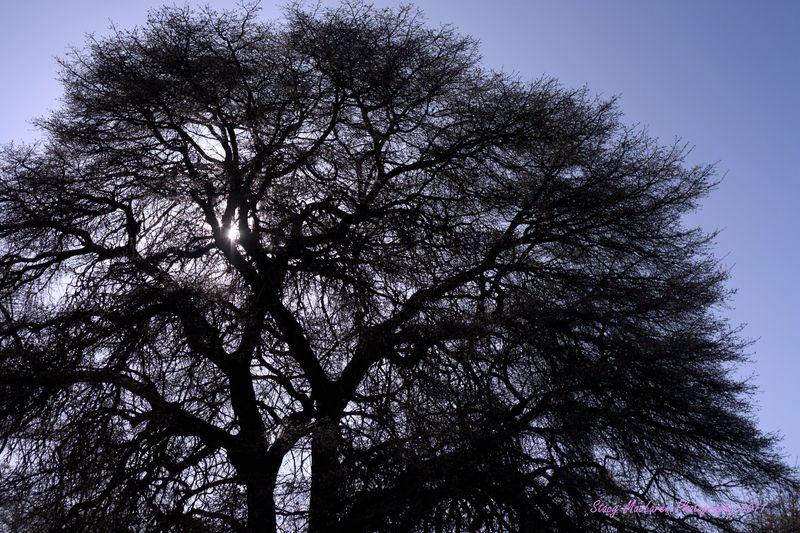 Sonoita Tree